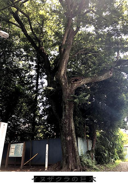 「御神木」カヤノ木