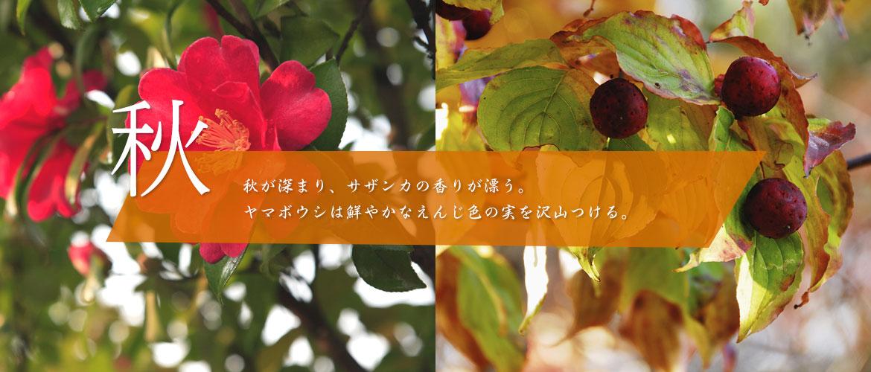 秋~秋が深まり、サザンカの香りが漂う。ヤマボウシは鮮やかなえんじ色の実を沢山つける。